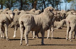 Sheep in feedlot