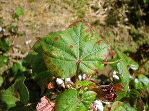 Aphids on cotton_8