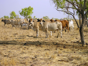 Brahman cattle grazing  in the Burdekin River catchment area