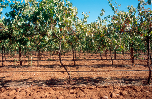 Drip irrigation vineyard near Angle Vale, SA. 2003.