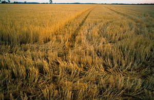 Wheat stubble near Ardlethan, NSW.