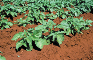 Potato plants on farm near Atherton, QLD.