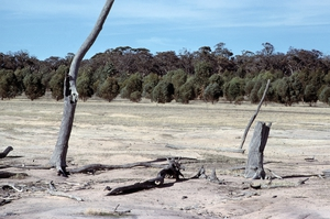 Experimental replanting of eucalypts upslope from saline ground in the Western Australian wheat belt near Bannister, WA. 1981.