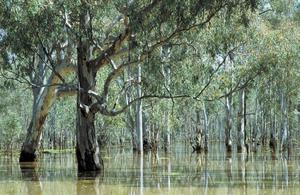 Flooded Barmah forest river gums, VIC