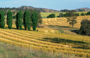 Canola crop during harvest on farm near Binalong, NSW, also shows trees in landscape.
