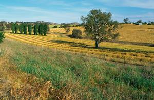 Canola crop during harvest on farm near Binalong, NSW.
