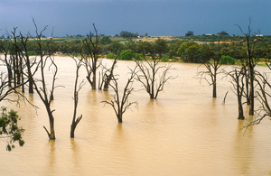 Dead gum trees in the Murray River near Blanchetown, SA. 1989.