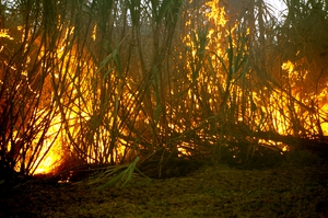 Burning sugar cane prior to harvesting at Frank Baletta's farm, Brandon (near Ayr), Burdekin Irrigation Area, SE of Townsville. QLD.