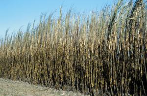 Recently burnt cane ready for harvest at Frank Baletta's farm, Brandon (near Ayr) Burdekin Irrigation Area, SE of Townsville.