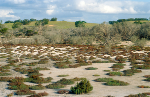 Dead Tea Trees in saline waterlogged area at Bunbury, SA. 1993.