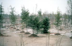Revegetation of degraded site, northern China. 1991.