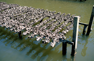 Oyster racks in the Clyde River, NSW. 2004.