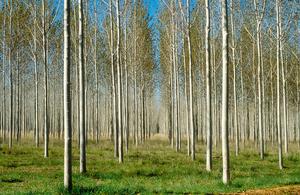 Forest plantation near Cobram, Victoria. 1989.