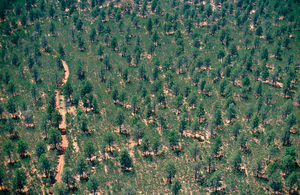 Aerial view of native Cypress trees (Calitris) in Lester State Forest near Coolamon, NSW. 1999.
