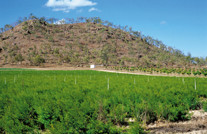 Tea tree farm with mango trees behind and to the right, west of Dimbulah, QLD.