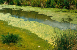 Blue-green algae in irrigation drain