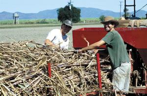 Farm workers planting sugar cane