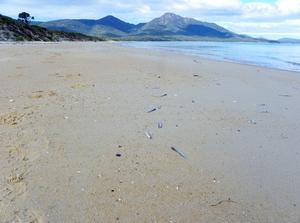 Dead fish on beach, Freycinet peninsula, Tasmania