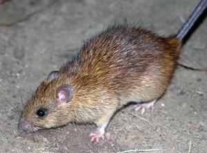 The black rat - Rattus rattus