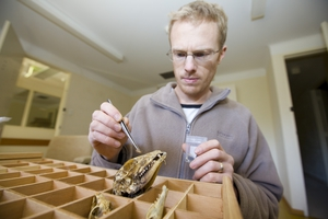 Dr Fred Ford of CSIRO's Australian National Wildlife Collection (ANWC) placing a Domestid beetle larva onto a skull. Domestids are used to clean flesh off the bones of museum specimens