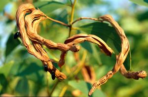 Acacia tumida Seed Pod.