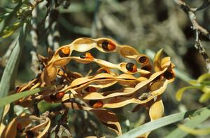 Acacia coriacea Seed Pod.