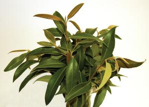 Fresh Lemon Myrtle Leaves - Backhousia citriodora