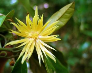 Flower of Galbulimima baccata