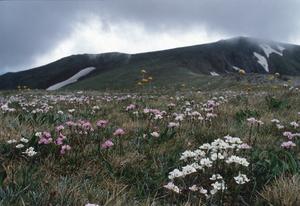 Alpine Herb Field, Kosciuszko