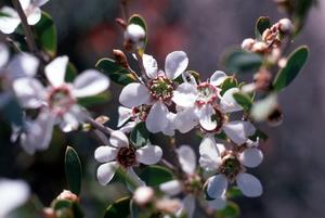 The Coastal tea-tree - Leptospermum laevigatum