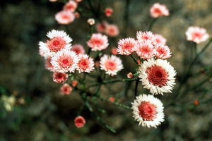 The Swamp Daisy - Actinodium cunninghamii