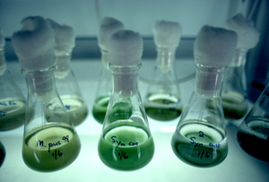 Algae Cultures in Laboratory.