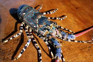 Ornate Lobster