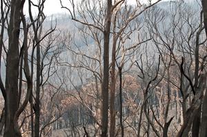The Kinglake National Park after the 'Black Saturday' bushfires