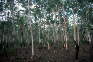 A Stand of Waria Waria Trees