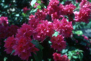 The colourful bracts of a Bougainvillea