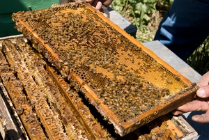 A frame from a beehive at a cherry farm near Young, New South Wales.