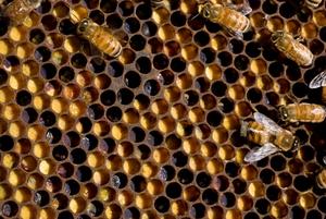 Honey bee comb showing cells
