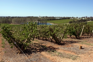 Cherry farm near Young, New South Wales.