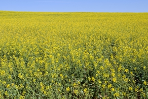 A field of Canola near Young, New South Wales