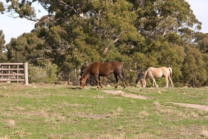 Horses grazing on farm
