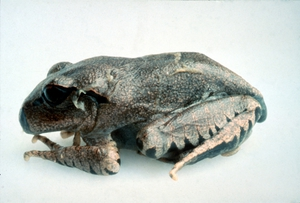 Chytrid Fungus Infected Great Barred Frog