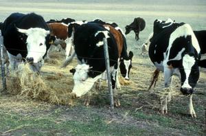 Cattle Feeding on Hay