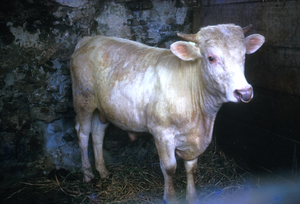 A Young Charolais Bull