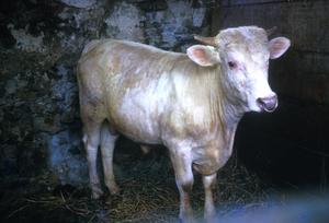 A Young Charolais Bull