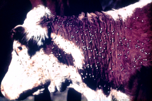 Cow infested with cattle tick - Boophilus microplus</I>