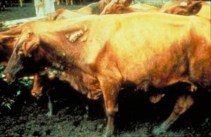Screw Worm Fly in Cattle