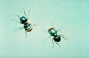 Screw worm fly