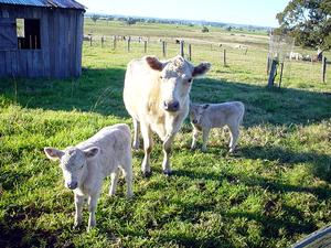 Murray Grey cows