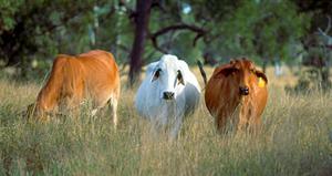 Brahmans cows